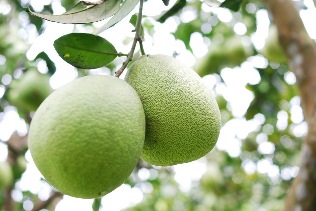 柚子树什么时候施肥